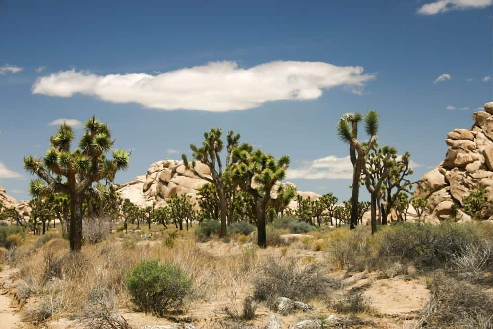 Flora and Fauna in Joshua Tree national park